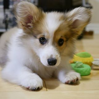 Go ahead, try to find a flaw in this excellent pup.   23 Reasons Fluffy Corgis Are A Gift From Dog Heaven