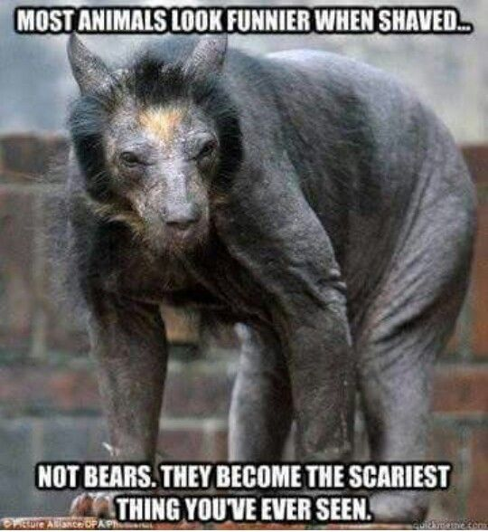 A SHAVED BEAR