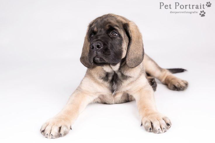 Hondenfotografie Hillegom - Foto van de fotoshoot voor Engelse Mastiff Taff, in de studio