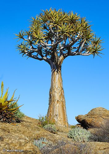 Aloe dichotoma (Quiver Tree) ~ By Martin_Heigan