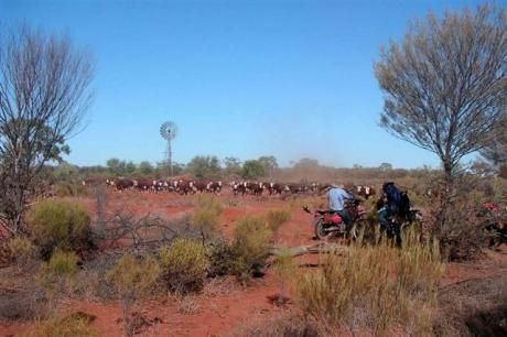 Cattle at the 7 mile - Outback Australia - Cattle Station - Kilcowera Station.