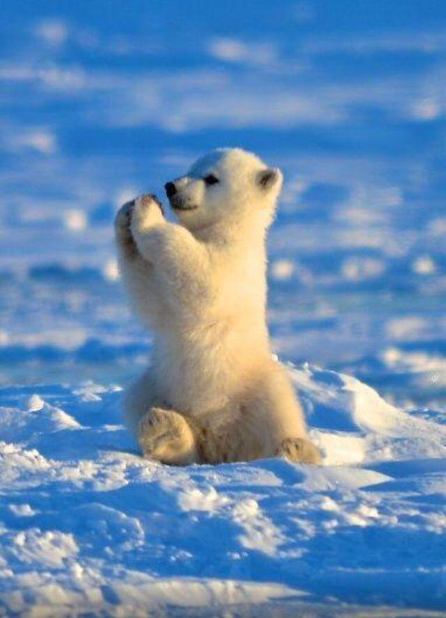 baby polar bear...adorable!!!