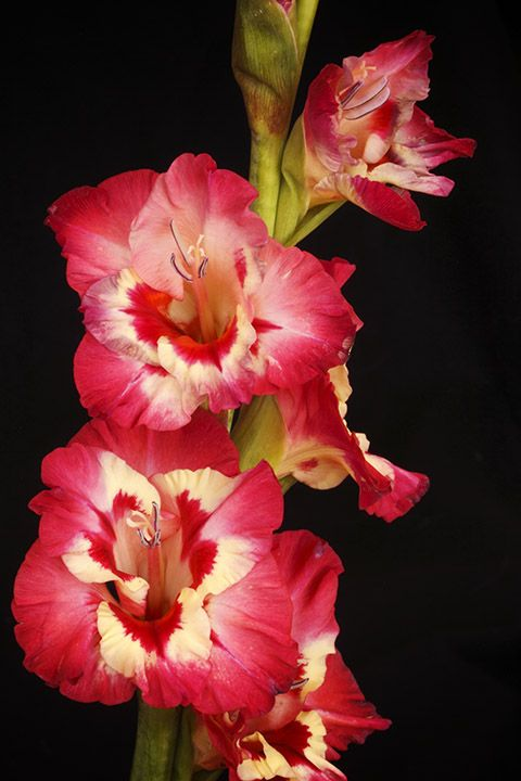 pictures of gladiolus flower | Pin Lovely Gladiolus Flower Tattoo on Pinterest