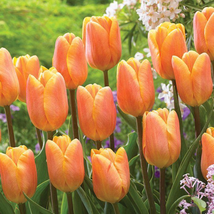 Tulip Top Gardens 2019 Tulip Top Gardens 5 October