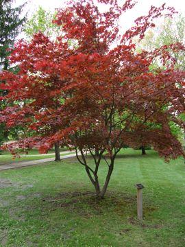 17 best ideas about bloodgood japanese maple on pinterest