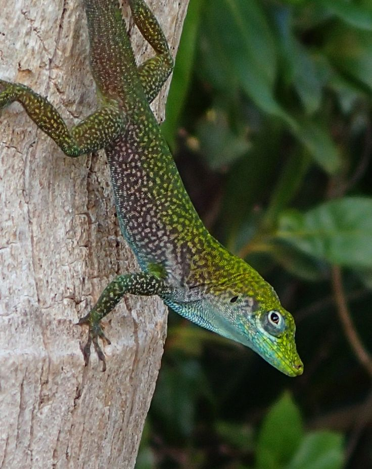 The Cayman 'Blue-Throated Anole' - a very pretty and  small lizard often seen on tree trunks. Can be shades of speckled brown/green/tan, but also seen in stunning shades of aqua & turquoise. Photo by Katie Alpers www.indigodivers.com For more info visit: http://www.caymanwildlife.org/wild-bluethroatanole.html