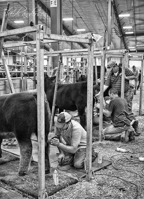 47 best images about Fitting/clipping pics of show cattle ...
