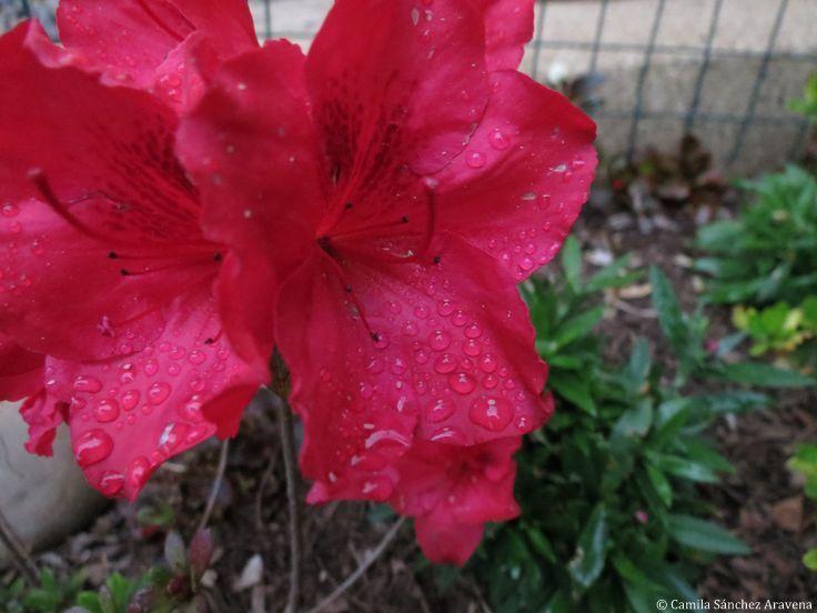 Azalea Roja - Red Azaleas
