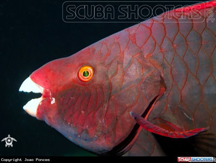 Red Parrotfish  in Ellaidhoo Island - Maldives