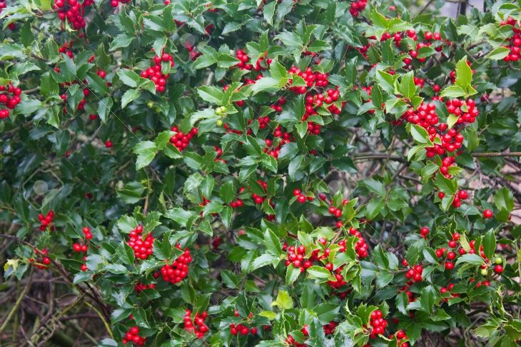 Best 25 Holly Plant Ideas On Pinterest Christmas