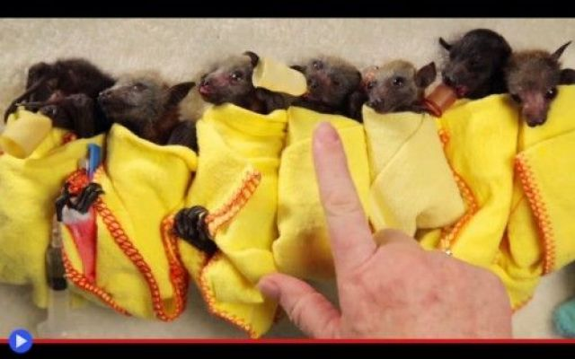Può incartarmi sei cuccioli di pipistrello, per favore? #animali #australia #pipistrelli #cucciol