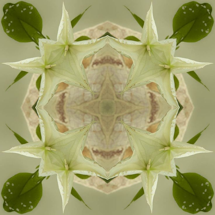 Datura Flower http://julianventer.com/  Share if you Please  ©JulianVenter