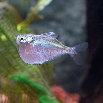 443 best images about aquariums other fish friends for Freshwater schooling fish