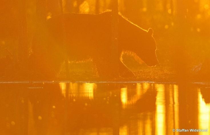 #Kuhmo # Sunset # Bear