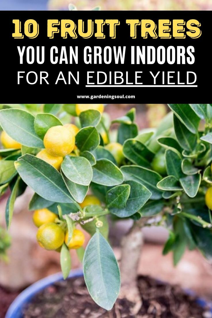 10 Fruit Trees You Can Grow Indoors For An Edible Yield 640 x 480