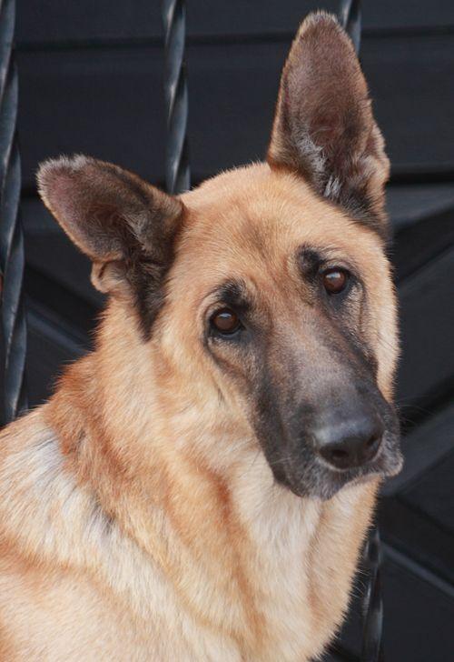 Westside German Shepherd Rescue Of Los Angeles Dogs German