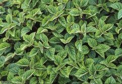 Plectranthus ciliatus  (03) Leaf