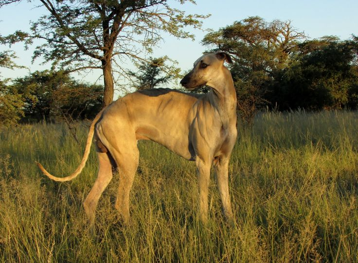 """South African Greyhound, also known as the """"Boerwindhond"""". Notice the arched back and deep chest."""