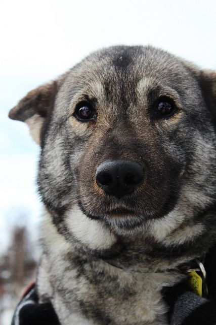 Norwegian Elkhound.  I used to know one named Elsa...sweet puppy!