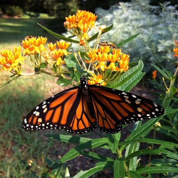 Monarch feeding on milkweed in Flagler Perennial Garden at Lewis Ginter Botanical Garden in Richmond, VA.  (Taken with Instagram): Flutterby