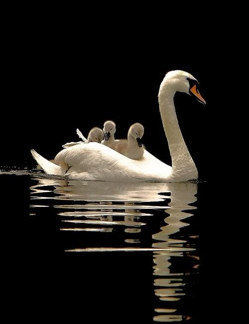 Mother swan and sygnets: Swan Lakes, Swan Families, Mothers Love, Sweet, Baby, Beautiful Birds, Beautiful Creatures, Animal, Feathers Friends