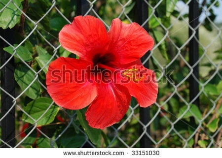 Google képkeresési találat: http://image.shutterstock.com/display_pic_with_logo/370843/370843,1246803654,3/stock-photo-large-red-mediterranean-flower-growing-through-a-wire-fence-on-the-greek-island-of-meganissi-33151030.jpg