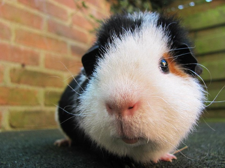 Billy the Guinea Pig. I got Billy from my mother. She works with Psychiatric people. one of them owned 2 guinnea pigs. They were in a bad condition. My mother took them away and brought them to me. Billy is one of them, and he is a very sweet guinnea pig!
