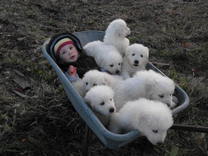 Maremma puppies... must have! these are so cute i have one and we wanna breed her with my great pureness/Anatolian Shepard! :) so cute!!