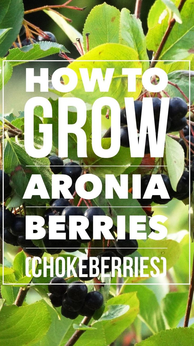 Learn how to grow chokeberry (aka chokeberries), also known as Aronia berries. A DIY guide to growing them yourself.
