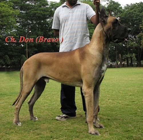 great dane bullmastiff mix | Musings of a Biologist and ...