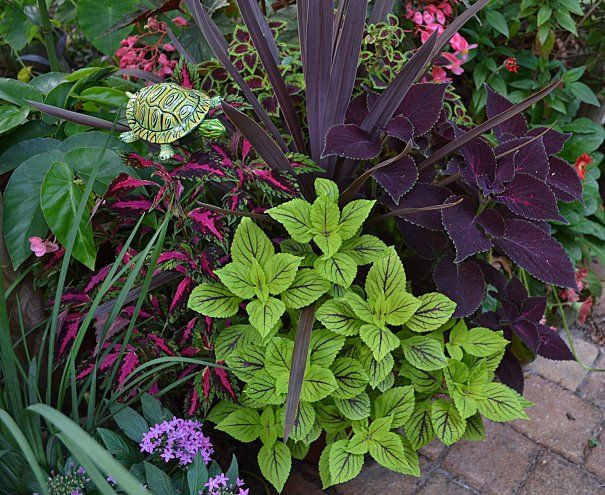 Great combination of Coleus- great burgundy color echoes.  And the turtle makes it perfect!