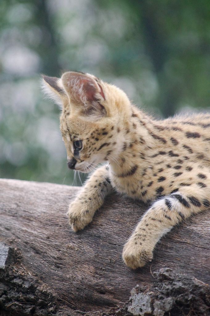 Young serval.......Eyes on the prize. Servals are perhaps the best hunters in the cat world. While other wild cats are successful in just one of every five or six attempts to kill prey, servals make a kill in about half of all tries.