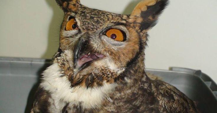Uma coruja da espécie Jacurutu - também conhecida como João Curutu ou corujão - foi resgatada pela Polícia Ambiental em uma fazenda de Campinas (SP). Trata-se da maior espécie de coruja das Américas. O animal está em extinção no estado de São Paulo desde 2008. A ave está com o bico quebrado e com uma luxação na asa. A previsão é de que ela esteja totalmente recuperada em 20 dias. Como características principais, a espécie tem orelhas proeminentes, olhos amarelados e garras poderosas…