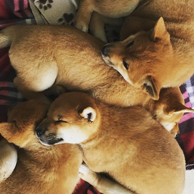 One more puppy pile for #nationalpuppyday