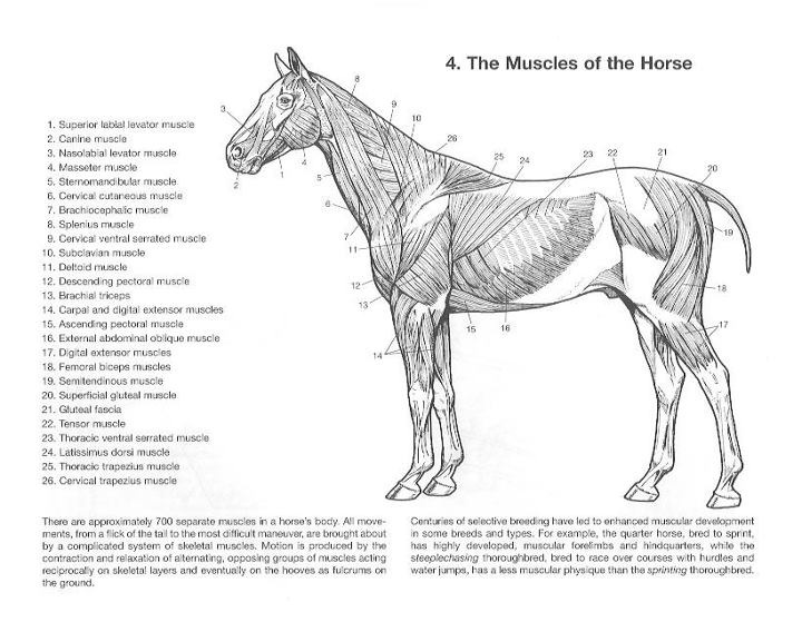 horse anatomy coloring pages - photo#31