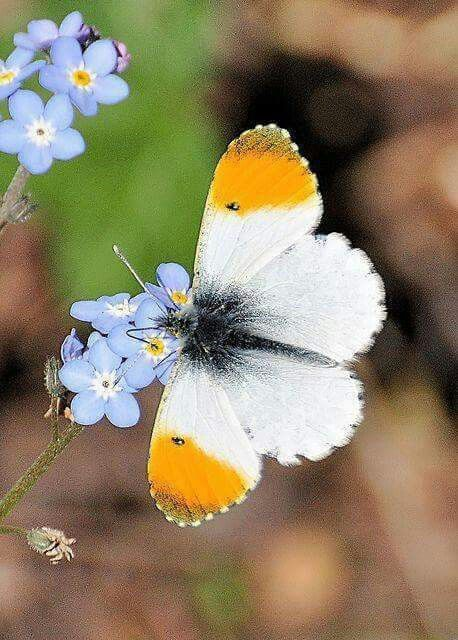 Butterfly of White & Yellow tips!