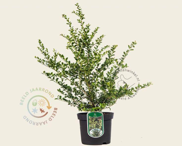 ilex crenata tuinplant, super mooi