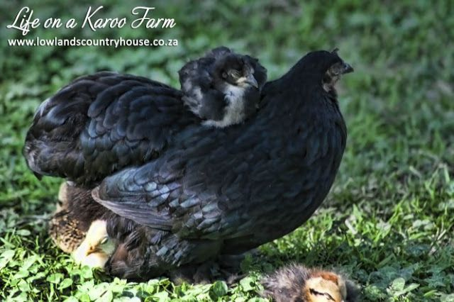 Mother hen with chick on her back - Life on a Karoo Farm - Read blog