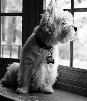 : Westies Rules, Westies Baby, Dogs Training, Hurry Home, Westies Wait, Favorite Personalized, Baby Dogs, Http Sweetbabydog Blogspot Com, Cairn Terriers