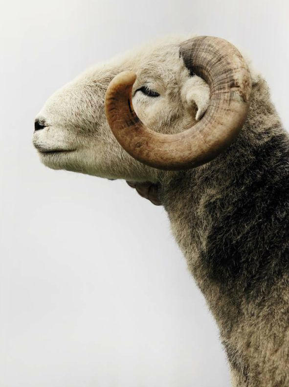 Ram...just like the one we had with much longer horns ...:) those were the days!