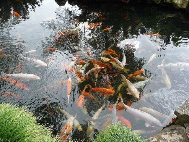 Giobel Koi Center Koi Farm Beautiful Koi Fish For Sale Water Gardens Pond Koi Pond Japanese Garden