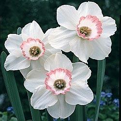 Daffodil: Narcissus 'Pink Charm'