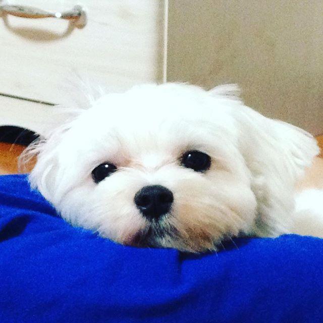 2014.09.06 - お兄ちゃんの膝の裏 - ここ、落ち着くの♬*゚ - #maltese  #maltesegirl #maltesedog  #malteselove  #まるちーず  #マルチーズのcoco #まるちーず大好き  #ふわふわ  #もふもふ  #白犬  #愛犬  #癒し犬 #癒し系女子 #coco