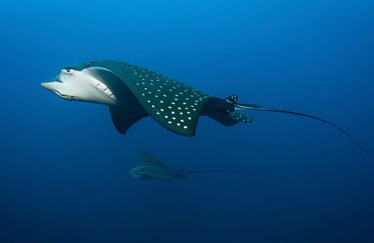 A spotted eagle ray with offspring cruise over the wreck of the Yongala, on the Great Barrier Reef