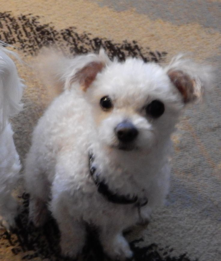 Teeny is an adoptable Maltese searching for a forever family near Winnebago, IL. Use Petfinder to find adoptable pets in your area.