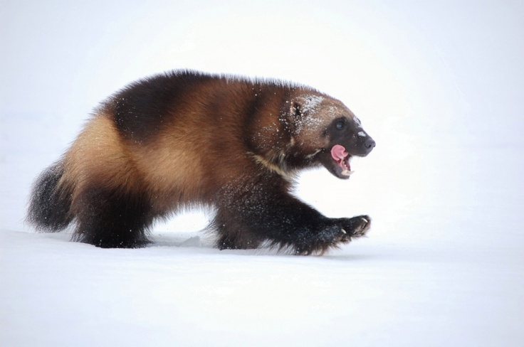 Wolverine - one of the coolest animals!