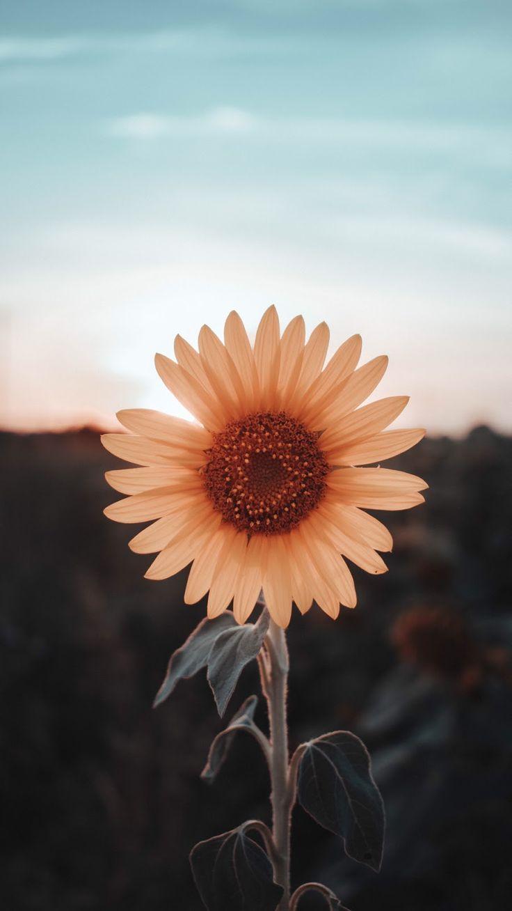 sunflower wallpaper – #Sunflower #wallpaper