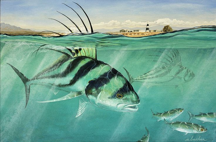 1000 images about rooster fish on pinterest west coast for Rooster fish pictures