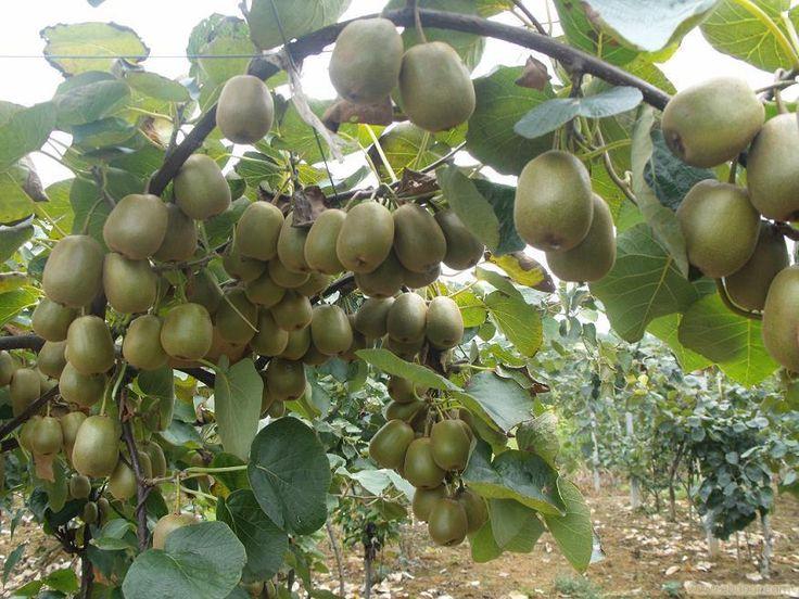 Актинидия - киви для северных дач! Опыт выращивания