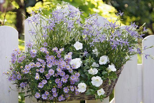 Balkonkasten mit Blauen Gänseblümchen, Petunien und Sternblumen